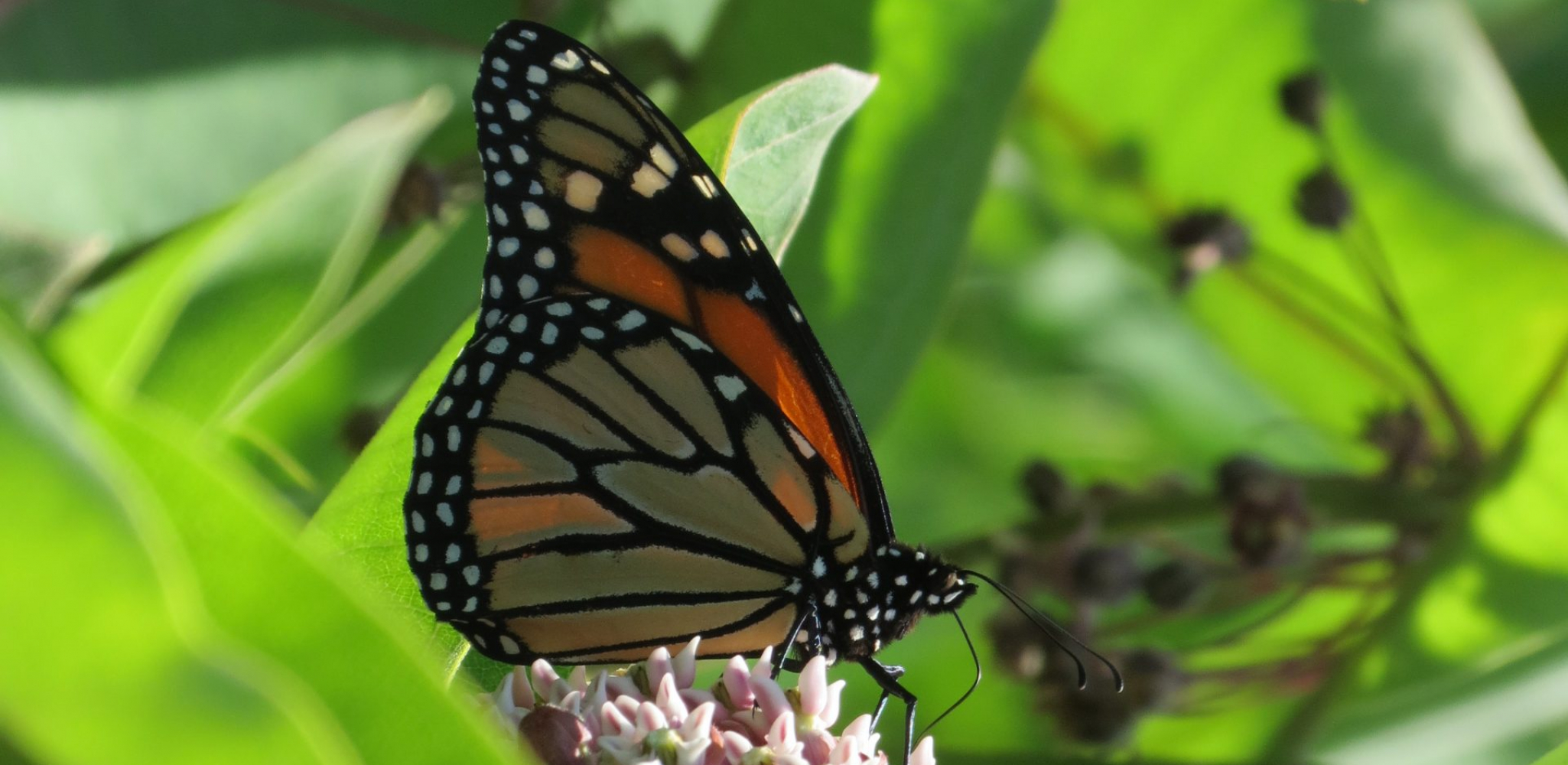 'The Flight of the Monarch Butterfly- The Pollinator Project' to Air on Discovery, Science Channel and Animal Planet